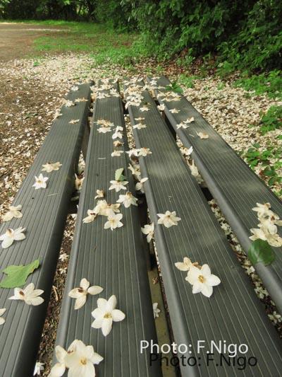 20190522エゴノ木の落花bwnIMG_0730-1