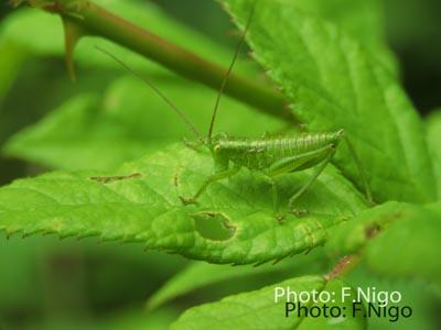 20190516-1キリギリスの仲間の幼虫bwn