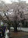 雨の醍醐寺枝垂れ桜