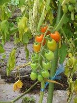 プチトマト20060723