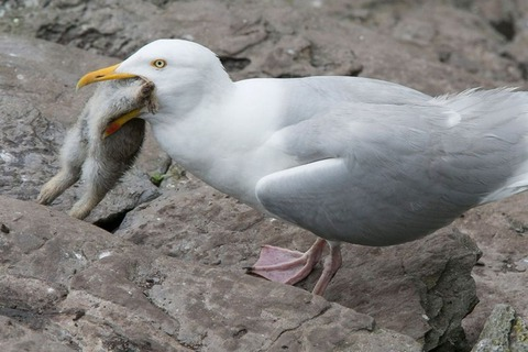 fearsome_seagull_03