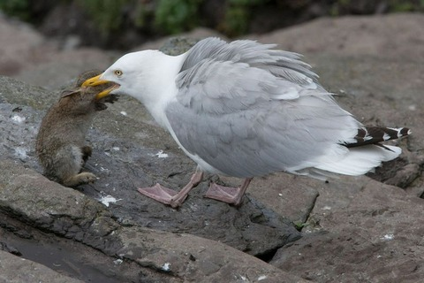 fearsome_seagull_02