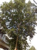 鳳凰は、桐の木がないと休めない。
