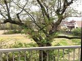 桜unnamed