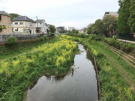 01野川菜の花.jpg