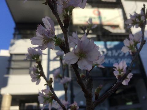 桜とフォルツァ