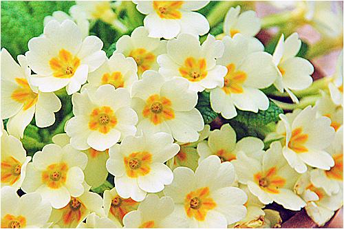 プリムラの画像 p1_37