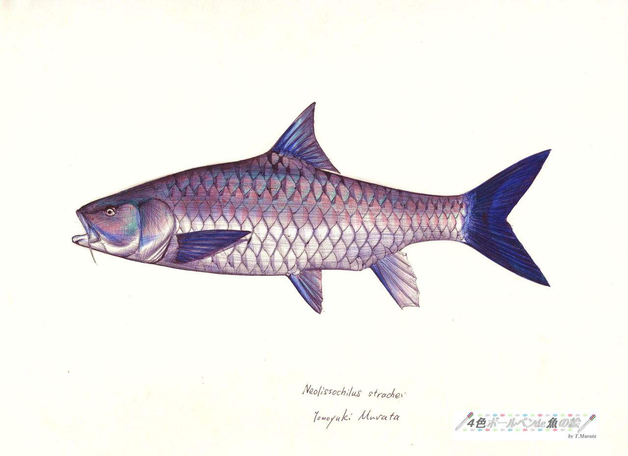 4色ボールペンde魚の絵 by T.Murata                        CHOJI