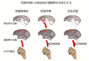 申年です。サルの実験で脊髄損傷からの機能回復のメカニズムが明らかになりました。