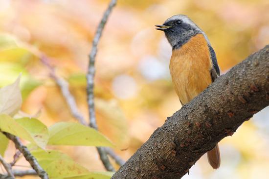 お城の野鳥2015年10月中〜下旬