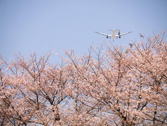 毛馬桜(E-5の場合)