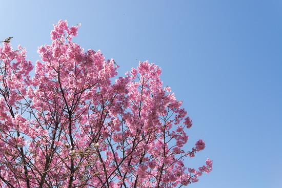 桜の前触れ