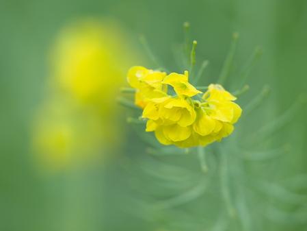 菜の花など
