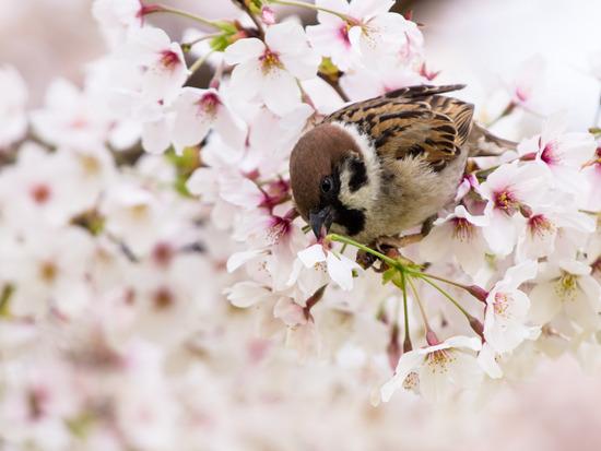 桜を見送り