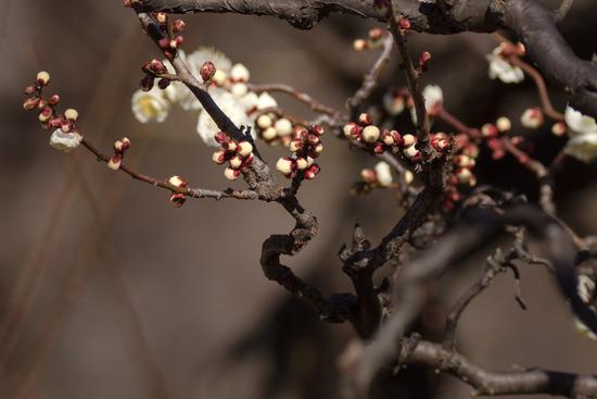 梅は咲いたが桜はまだでっせ