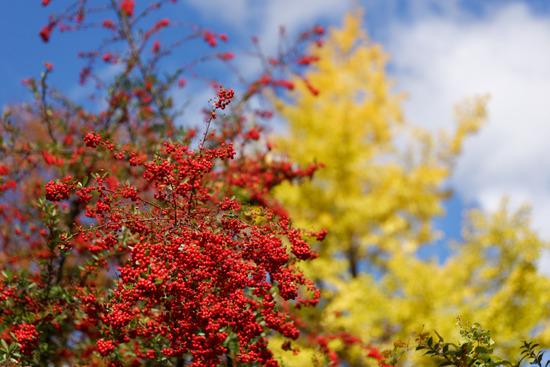 大阪の黄葉