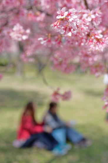2015年桜の序章