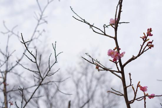 2016桜初め