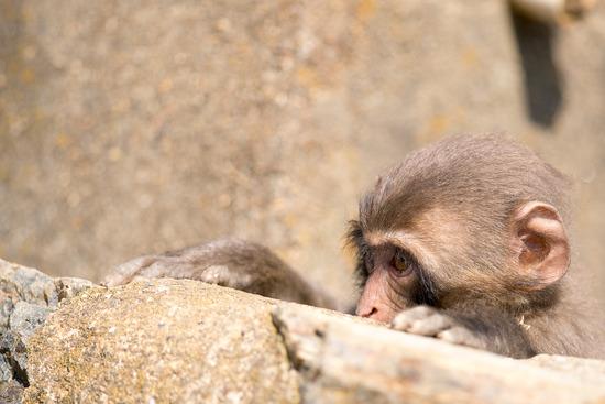お猿その2