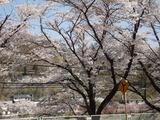 嬬恋三原桜並木ー1