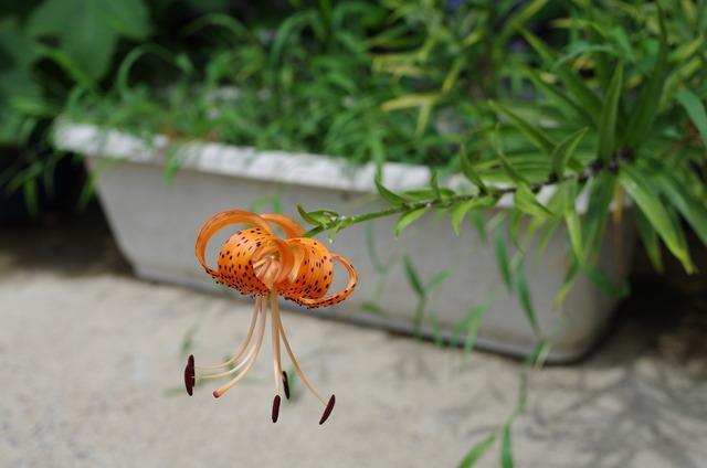 1つだけ開花