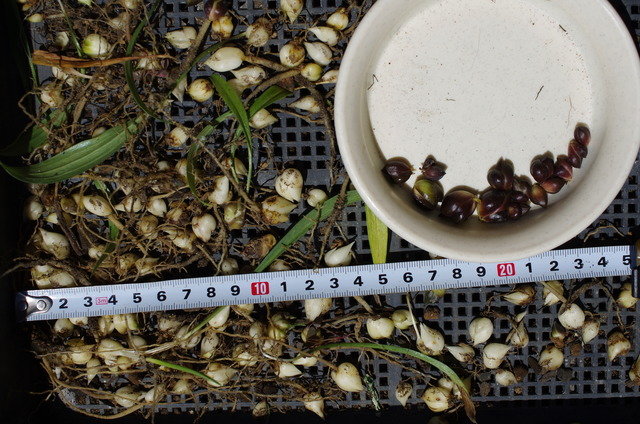 1年栽培とむかごの比較