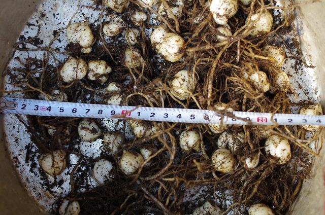 種まき用土で栽培した球根