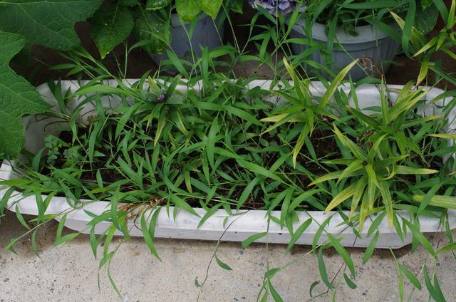 種まき用土の子苗