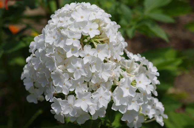 フジヤマ 開花