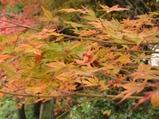 風にゆれる紅葉