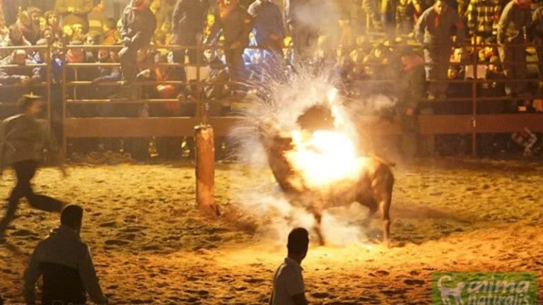 火の牛祭り