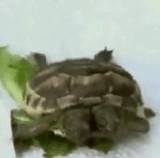 動画:双頭亀 [衝撃]