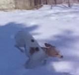 動画:犬 -雪の上で逆立ちする- [感動]