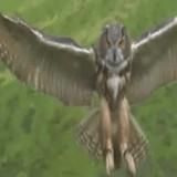 動画:フクロウ -捕獲の瞬間- [感動]