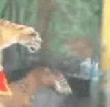 動画:馬と虎 -ウマの上に乗るトラ- [感動]