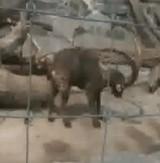 動画:ヤギが自分の角を使って・・・ [ほのぼの]