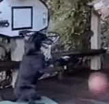 動画:犬 -バスケットボールをする犬- [おもしろ]