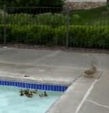 動画:アヒルの親子がプールで離ればなれになった [ほのぼの]