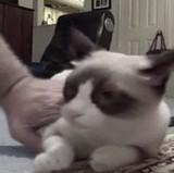 動画:猫 -されるがままなネコ- [ほのぼの]
