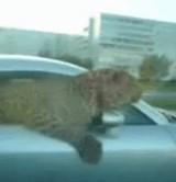 動画:車の窓から見えた動物の正体 [衝撃]