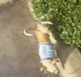 動画:犬 -おしっこをしながら歩く犬- [ほのぼの]