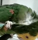 動画:インコ -羽を使って背中かき- [ほのぼの]