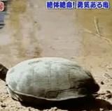動画:勇気ある亀 [衝撃]