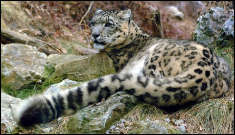snow-leopards-tail