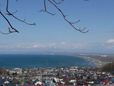 フクジュソウの山 (1)