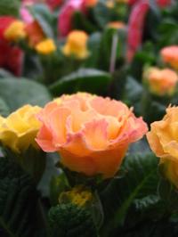 バラ咲きジュリアン ピーチフロマージュ