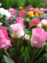 バラ咲きジュリアン ブライダルベル