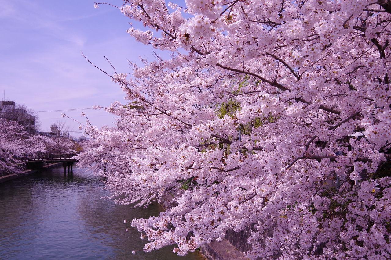 京都から世界へ -藤田功博の京都日記-地元編集者が選ぶ、京都で桜・花見のおすすめ5コース(保存版)コメントトラックバック