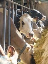 6種類の乳牛が飼われています。