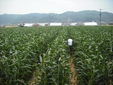 750坪の畑に1万本のスイートコーンが実っています